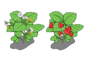 For Flowering and Fruiting Stage