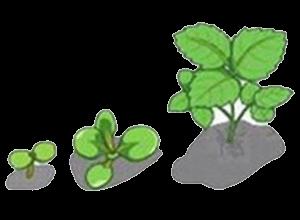 For Vegetative Stage