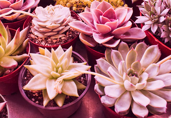 How to use a grow light for succulents